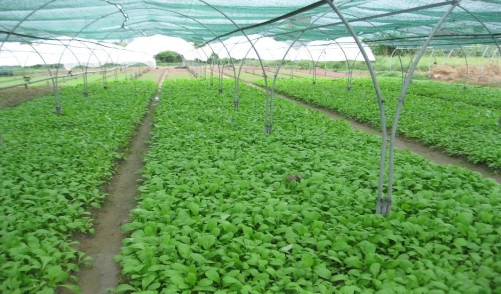 Phân biệt rau sạch giữa rau hữu cơ, rau an toàn và rau tự nhiên