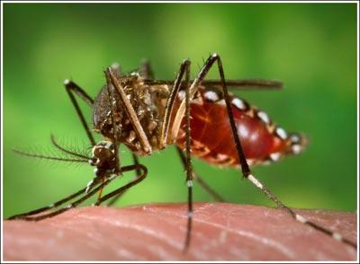 Cách bắt và đuổi những con muỗi đáng ghét