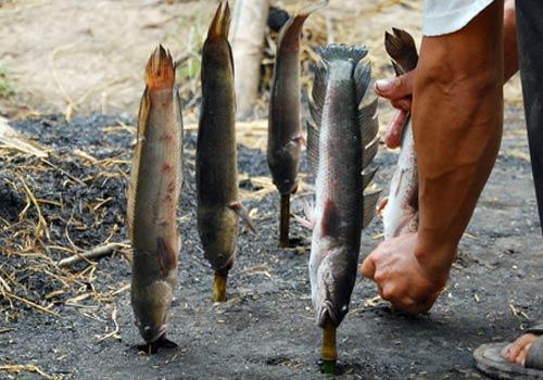 Về miền Tây ăn cá lóc chổng ngược