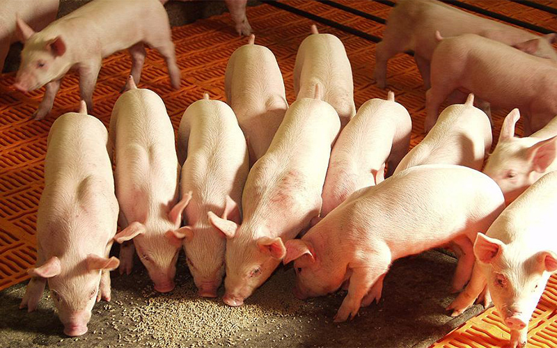 Quy trình chăn nuôi lợn hữu cơ theo tiêu chuẩn hữu cơ USDA cần gì?