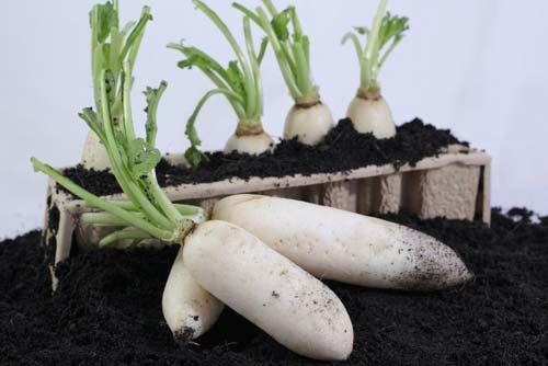Củ cải trắng muối chua ngọt Bình Thuận