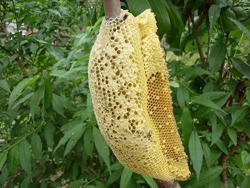 Mật ong rừng Tây Bắc