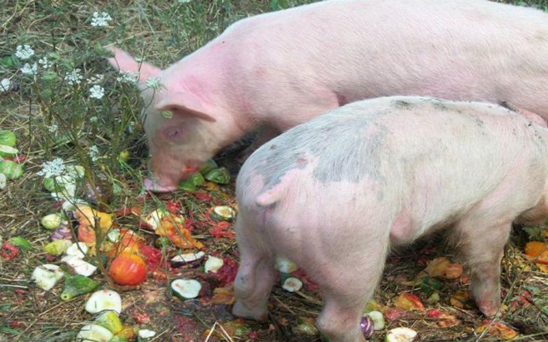 Sự khác biệt cơ bản giữa thịt lợn hữu cơ và thịt lợn thông thường mà các bà nội trợ nên biết