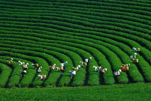 Trà cao nguyên Lâm Đồng